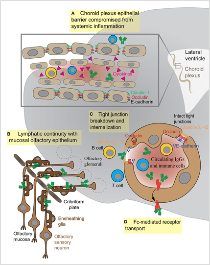 When immune cells and autoantibodies impact brain functioning